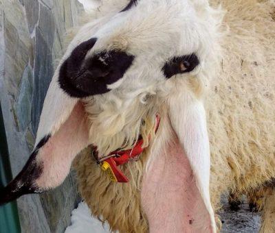 Любопытные козы