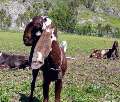 порода коз Нагри