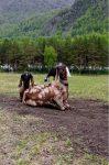 Козы фермерского хозяйства Лаковый Ветер